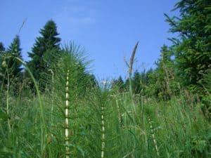 Ackerschachtelhalm Dünger Acker Schachtelhalm Dünger: Von und für Pflanzen