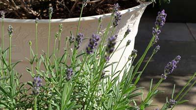 Lavendel auf der Terasse - wird mit ein wenig Dünger versorgt - BIO SUD