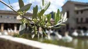 Mit Düngermittel besser: Oliven-Bäume muß man auch düngen.