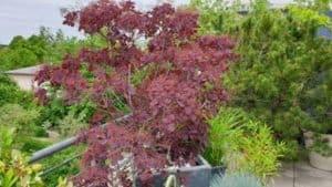 Perückenstrauch vor Kierfer - Mit pflanzlichem Dünger gedüngt und behandelt