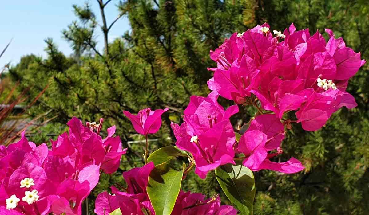 Foto Bild der Bougainvillea Bougainville. Gedüngt mit Bio Sud Universaldünger