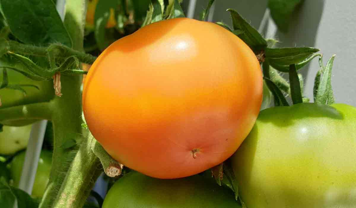 Reife Tomate Pflanze Bilder Fotos - 1x wöchentlich mit Bio Sud Tomatendünger