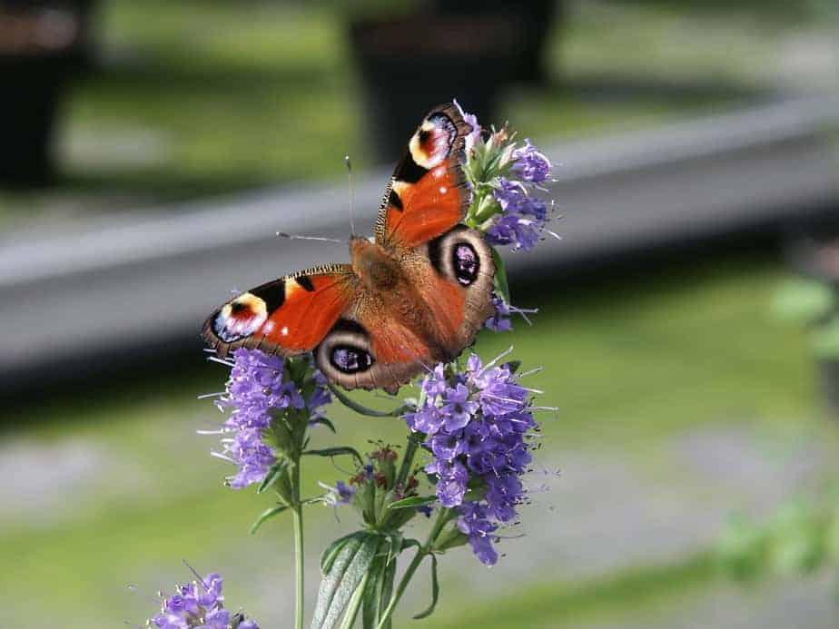Kräuter wie der Ysop ist beliebt bei Schmetterlingen - und schmeckt lecker!
