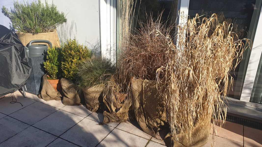Pflanzen überwintern mit Jutesacken an der Mauer oder nahe der Wände