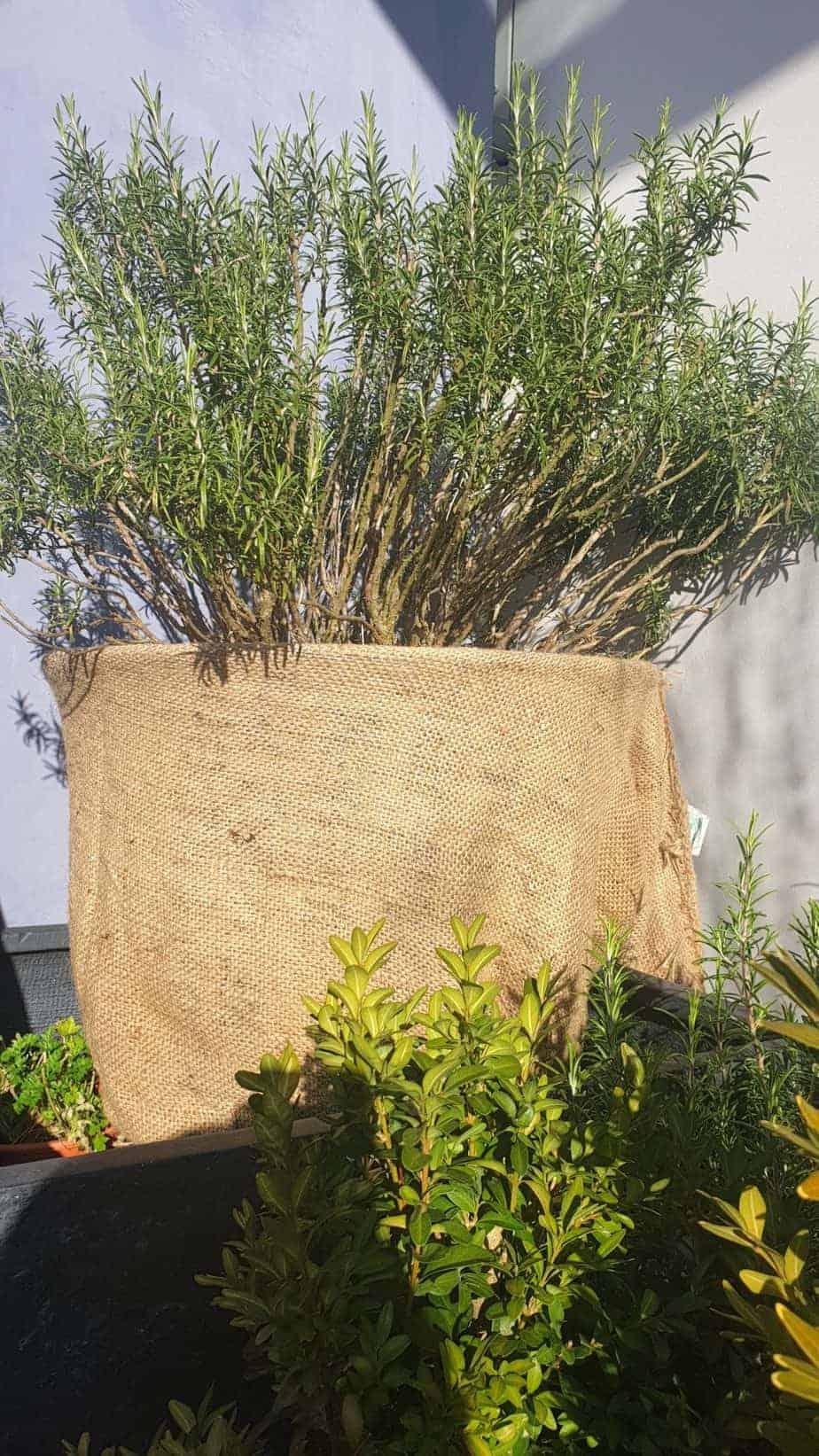 Rosmarinpflanze überwintert im Jutesack