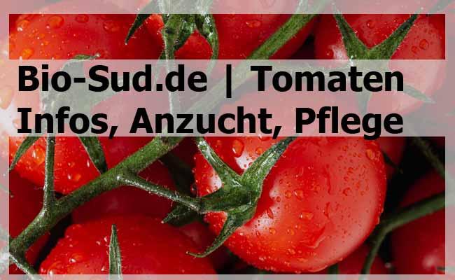 Tomaten Pflege - Paradeiser Tomatenflanze