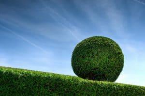 Buchsbaum oder Buxbaum als Hecke oder Kugel