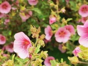 Pflanze Blume Manuka Leptospermum scoparium