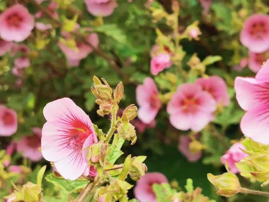 Pflanze Blume Manuka