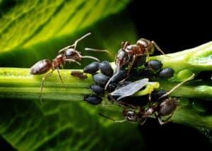 Ungeziefer wie Blattläuse und Ameisen auf der Terrasse